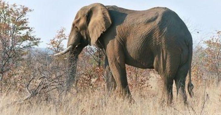 Fill 730x380 original 800px elephant kruger 2003