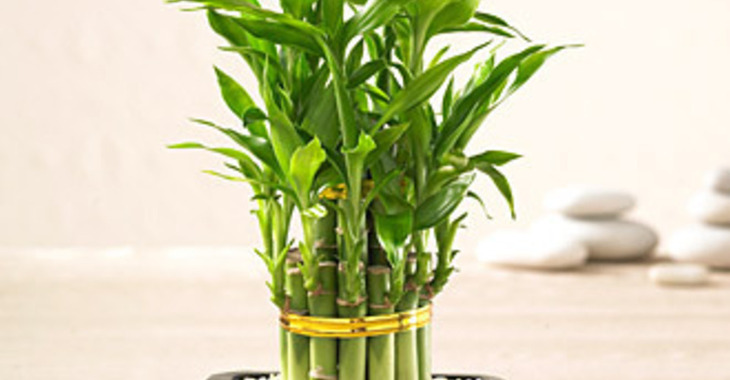 Fill 730x380 bp1488782782 lucky bamboo