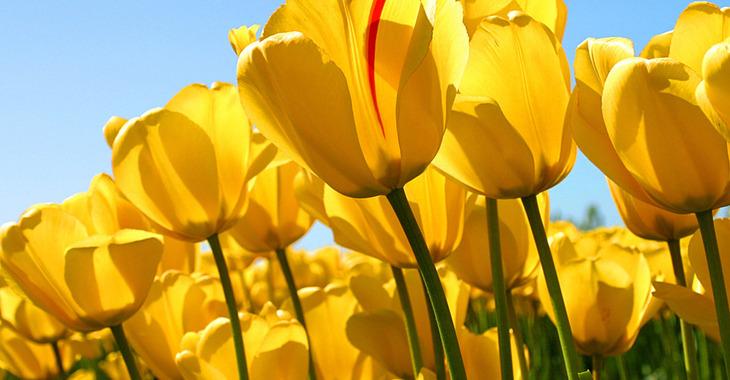 Fill 730x380 bp1509314474 tulips