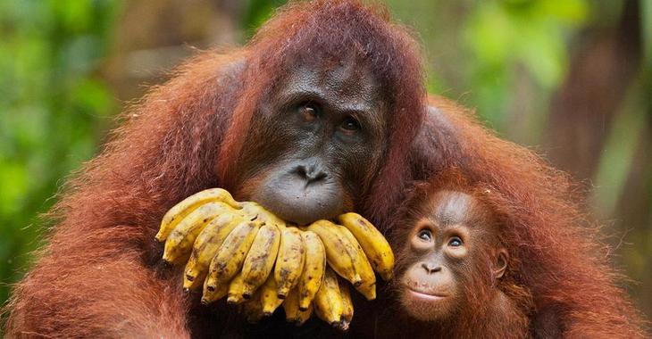 Fill 730x380 bp1518451341 ww primates orangutans.ngsversion.1465852517221.adapt.1900.1