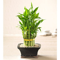 Fill 200x200 bp1488782298 lucky bamboo