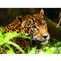Fill 200x200 profile thumb jaguar