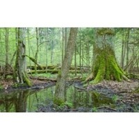 Fill 200x200 bialowieza forest poland 300x183